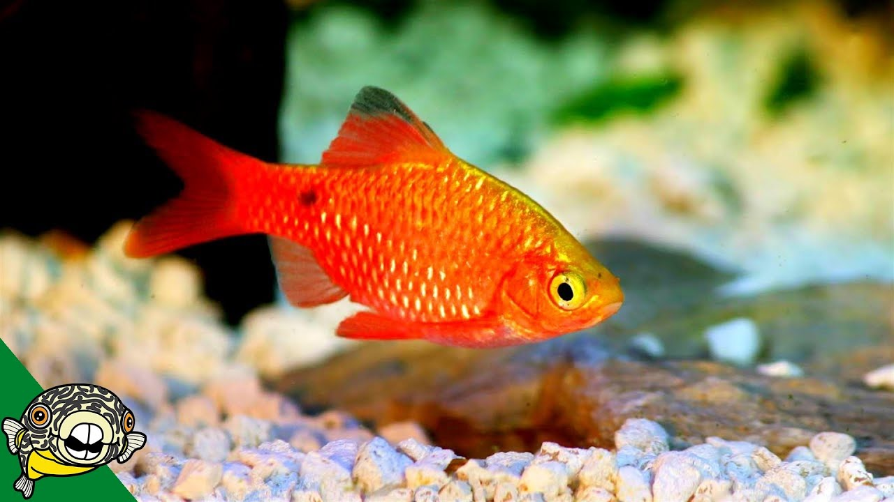 Top 10 Coldwater Fish That Don T Need A Heater Youtube