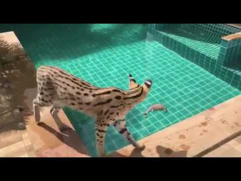 ขายแมวเบงกอล,ซาวันน่าห์,คาราคัล, เซอร์วอล by ABTBENGALS Tel 0615359166