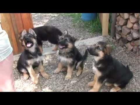 puppies-sit,-please~!-german-shepherd-puppies-in-beginner-training