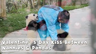 Valentine's Day Kiss Between Nannies & Pandas | iPanda