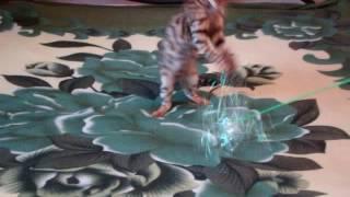 Бенгальская кошка Бриджит 29.02.16г.рожд. в разведение или для души