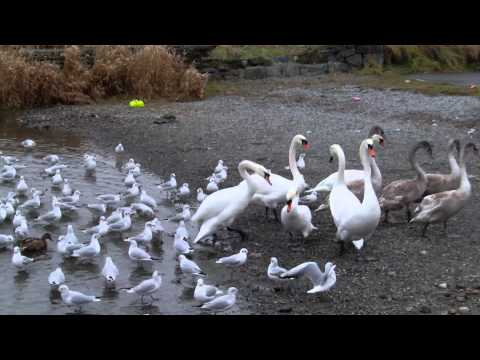 Lough Rea lake - feeding frenzy!