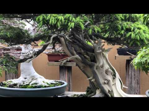 Visiting the bonsai garden of Kunio Kobayashi