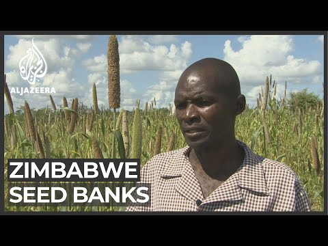 Zimbabwe farming: Seed banks set up to prepare for drought