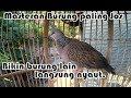Josss Masteran Suara Burung Derkuku Tekukur Puter Dan Kutut Saling Nyaut Bikin Rame  Mp3 - Mp4 Download