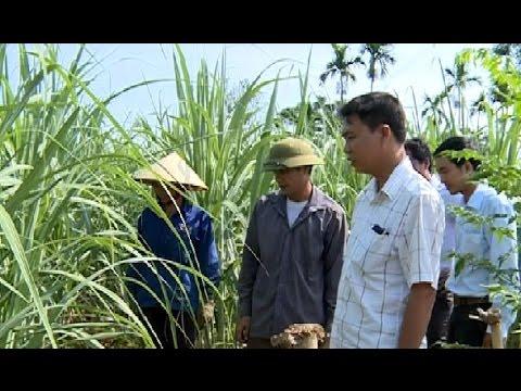 Phát triển vùng nguyên liệu mía ở huyện Ngọc Lặc