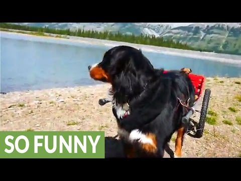 Bernese Mountain Dog pulls Chihuahuas in cart