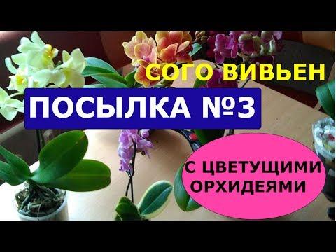 СУПЕР посылка №3  с цветущими орхидеями. СОГО ВИВЬЕН.  Размышления об интернет-продавцах орхидей.