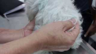A Maltese Vomits Many Times For 2 Days - Pyometra 1/4