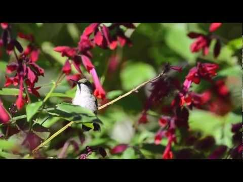 Plant Talk with Kristin — Plants That Attract Hummingbirds