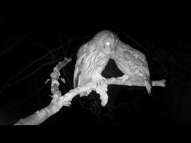 Affectionate Tawny Owls