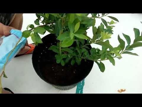 ~瘋藍莓~藍莓專用肥施肥法 - YouTube
