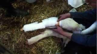 Mon veau a le tibia cassé a la naissance !!!
