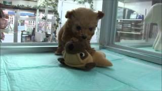 説明DOG Stage ドッグステージ http://www.dog-stage.com/pt_puppy.html...