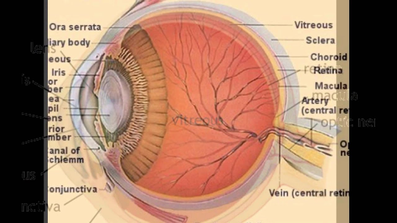 hight resolution of lens eye anatomy