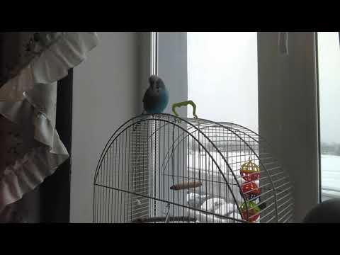 Волнистый попугай Кирилл-танцор🐦