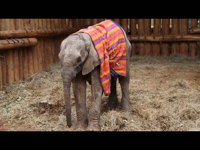 Orphaned Baby Elephant Saved From Starvation