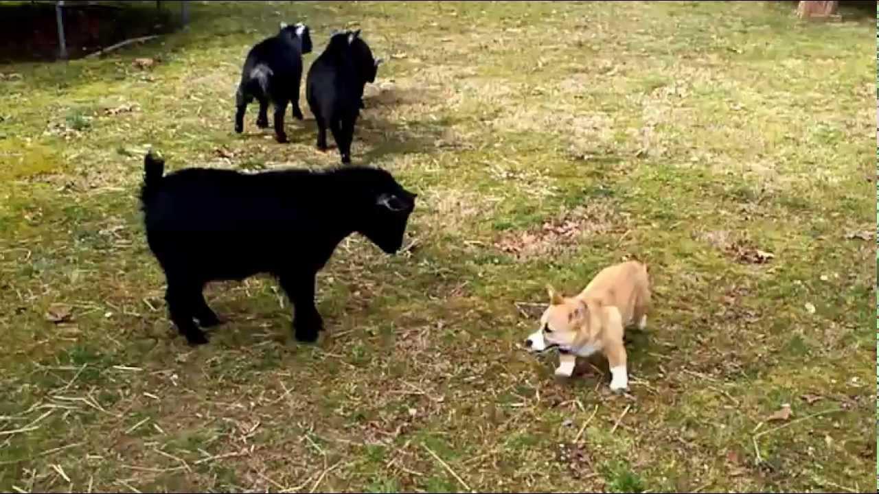 R Goats Good Pets Corgi Herding Goats - ...