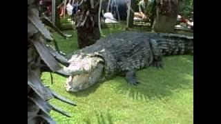 BIGGEST CROCODILE IN THE WORLD!!