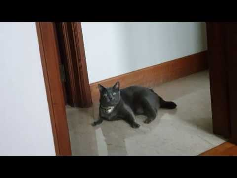 Smart Russian Blue Cat Smokey responded to my calling