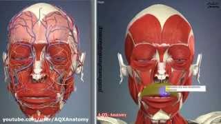 Мимические мышцы лица | 3D Анатомия человека | Внутренние органы(3D Анатомия человека | Мимические мышцы лица: мышцы головы делятся на жевательные и мимические. Отличительна..., 2015-03-29T12:49:27.000Z)