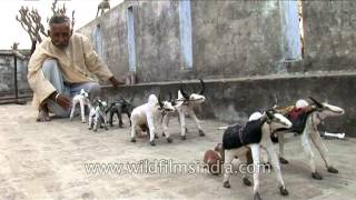 Villager making toy cattle in Uttar Pradesh
