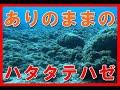 ハタタテハゼ大:瓢箪島:2018年8月25日 gopro6 水中にカメラをおいてみたシ…