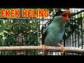 Suara Gacor Ekek Kel1ng Burung Format Mp3