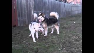 Собака-конь