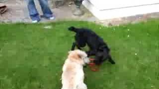 Patterdale Vs Cairn Terrier