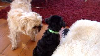 A Schnoodle , A Puffin And A Pug Playing Together