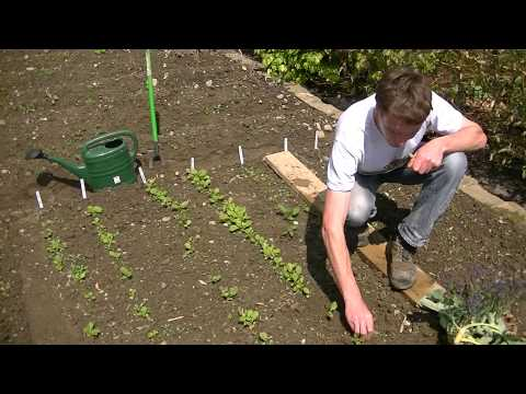 How to Thin Out Turnip Seedlings