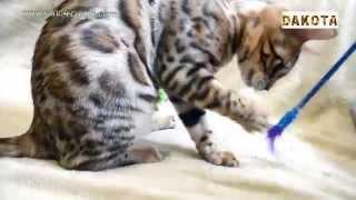 Дакота   самая красивая и самая умная в мире кошка бенгальской породы играет на диване в понедельник