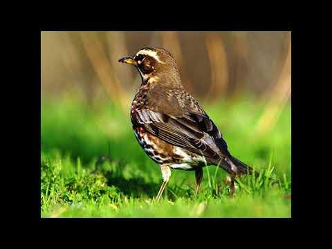 Uccelli - Tordo Sassello - Canto degli Uccelli