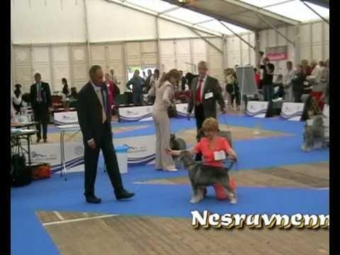 Словения. Целе. Чемпионат Европы-2010. Ринг шнауцеров / Schnauzers' ring