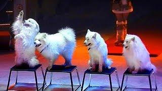 Собаки Лайки. Дрессировка Собак. Белые Пушистые Собаки. Дрессированные Собаки. Дрессированные Лайки