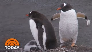 Same-Sex Penguin Couple 'Adopts' Abandoned Egg At Zoo | TODAY