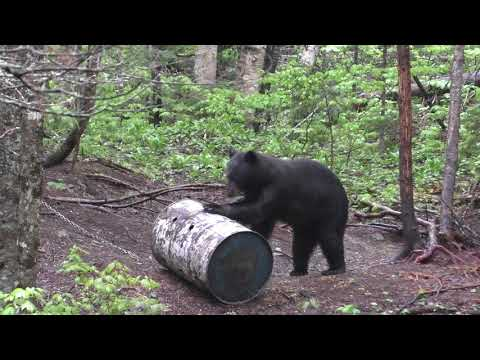 2018 archery Black bear hunt 274LBS!!