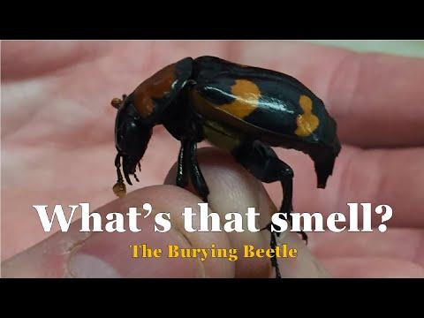 American Burying Beetle (St. Louis Zoo) - Episode 171