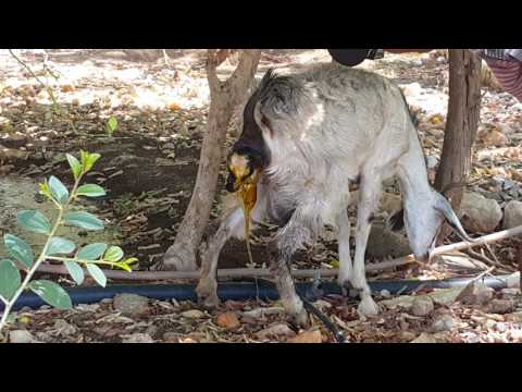 Goat giving birth in Sawa, Eritrea