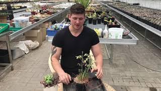 Альбука (Albuca spiralis) - интересное луковичное растение
