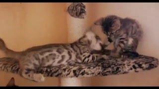 Бенгальские котята играют Wild Russia