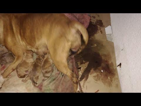 Mira como nacen 7 cachorros  pitbull