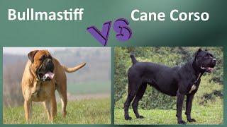 Bullmastiff VS Cane Corso  Breed Comparison