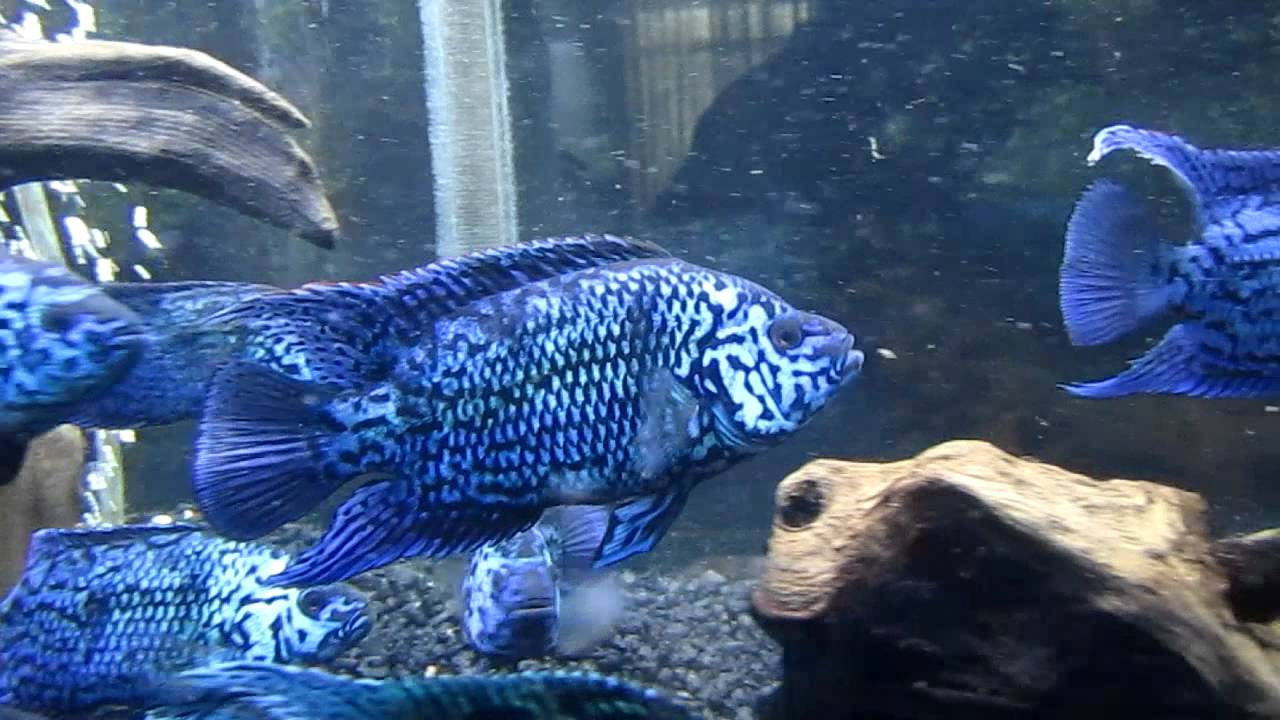 Details likewise Freshwater Brackish Marine Fish  patibility Charts further 931755 also African Cichlids furthermore Index. on oscar fish compatibility