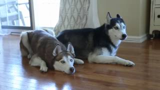 Huskies go shopping online!