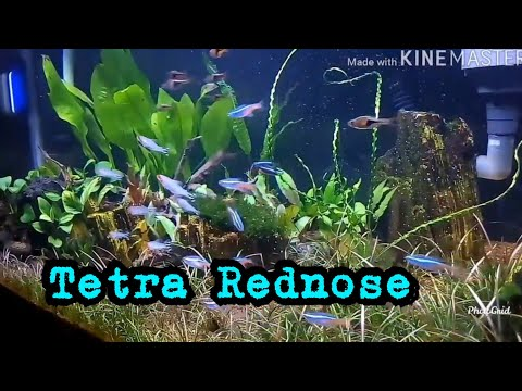 red-nose-schooling-fish---aquascape-|-ikan-red-nose-bergerombol