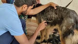 German shepherd hair trimming #hair removing #summer care of German shepherd.