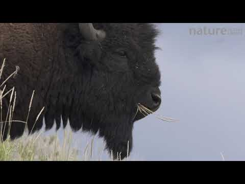 American bison feeding, Yellowstone National Park, Wyoming, USA, August.