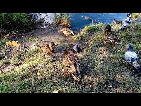 Осенний утиный релакс.Autumn duck relax.
